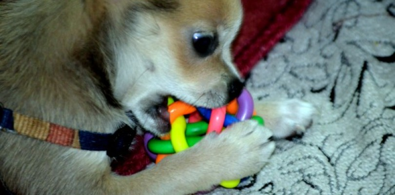 puppy-chewing-810x400